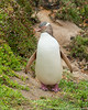 Yellow-eyed Penguin (NZ endemic)