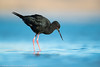 Black Stilt (NZ endemic)