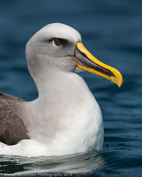 Buller's Albatross