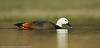 Paradise Shelduck (NZ endemic)
