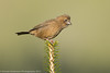 Taiwan Rosefinch (Taiwan endemic)