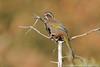 White-whiskered Laughingthrush (Taiwan endemic)