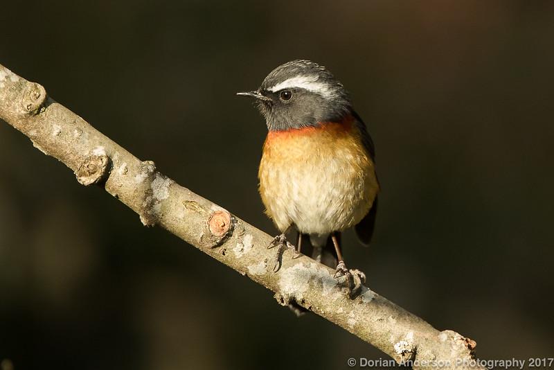 Collared Bush-Robin (Taiwan endemic)