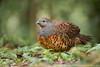 Taiwan Bamboo-Partridge (Taiwan endemic)
