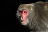 Taiwan Mountain Macaque