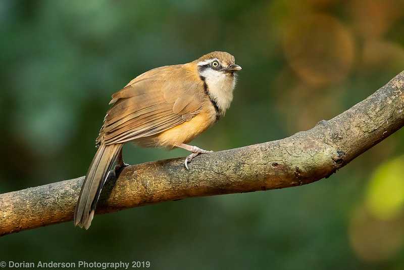 Lesser Necklaced Laughingthrush