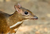 Asian Chevrotain