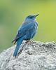 Blue Rock-Thrush
