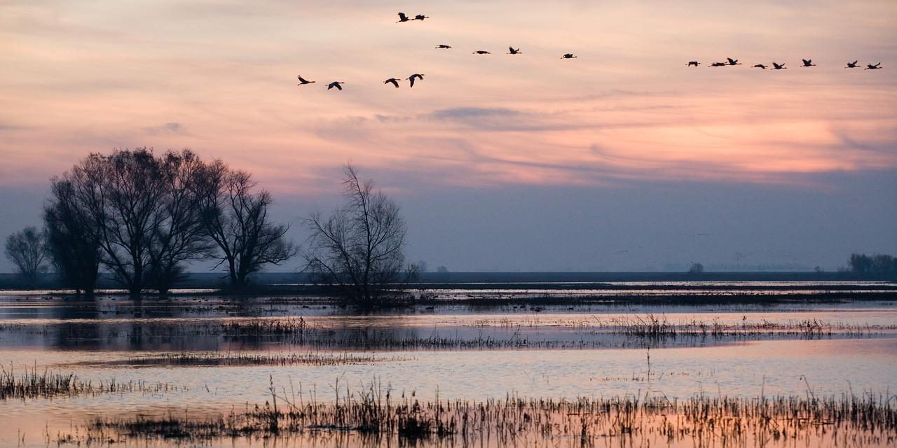 Sandhill Cranes Overhead