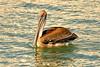 Brown Pelican<br /> (Pelecanus occidentalis)