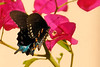 Pipevine Swallowtail<br /> (Batus philenor)
