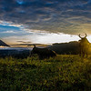 These cows were at the same location for 3 mornings in a row, enjoying the sunrise.  Taken in El Castille, Costa Rica