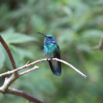 Cloud Forest Hummingbird – Monteverde, Costa Rica – Daily Photo