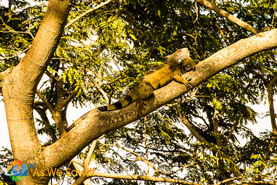 Catching a few rays, this Iguana rests on a tree limb.  Taken at Punta Culebra Nature Center.