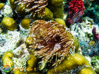 Feather Duster Tube Worm.  Touch them gently and the quickly slide back into their tube.