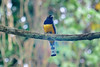 The Violaceous Trogon (Trogon violaceus)  feed on insects and small fruit, and their broad bills and weak legs reflect their diet and arboreal habits. Although their flight is fast, they are reluctant to fly any distance. They typically perch upright and motionless.