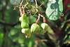 """The cashew (Anacardium occidentale) is a tree in the flowering plant family Anacardiaceae. The plant is native to northeastern Brazil. Its English name derives from the Portuguese name for the fruit of the cashew tree, caju, which in turn derives from the indigenous Tupi name, acajú. It is now widely grown in tropical climates for its cashew """"nuts"""" and cashew apples."""