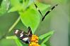 Doris Longwing Butterfly (Heliconius doris) at Casa Orquideas