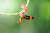 """Heliconius erato is a butterfly commonly known under a variety of names, such as the """"Red Postman"""", the """"Small Postman"""", the """"Red Passion Flower Butterfly"""", or the """"Crimson-Patched Longwing""""."""