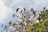 Magnificent Frigatebird (Fregata magnificens) are seasonally monogamous, and nest colonially. A rough nest is constructed in low trees or on the ground on remote islands. A single egg is laid each breeding season.