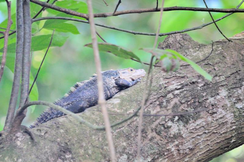 Green iguana or common iguana (Iguana iguana)