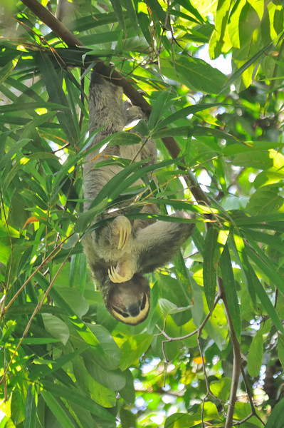 Brown-throated Sloth (Bradypus variegatus) is the most widespread and common species of the group, being found in many different kinds of environments, including evergreen and dry forests and in highly perturbed natural areas.  It is a solitary, nocturnal and diurnal animal, feeding on leaves of many species of trees.