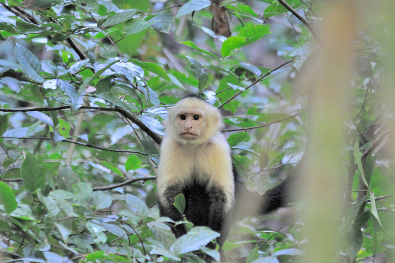 The White-headed Capuchin (Cebus capucinus), also known as the White-faced Capuchin or White-throated Capuchin, is named after the order of Capuchin friars – the cowls worn by these friars closely resemble the monkey's head coloration.