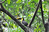 The Chestnut-mandibled Toucan, or Swainson's Toucan (Ramphastos swainsonii)