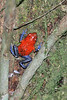 The strawberry poison frog or strawberry poison-dart frog, (Oophaga pumilio) is a species of poison dart frog found in Central America.  The blue jeans morph of O. pumilio is found in  Costa Rica, as well as mainland Panama
