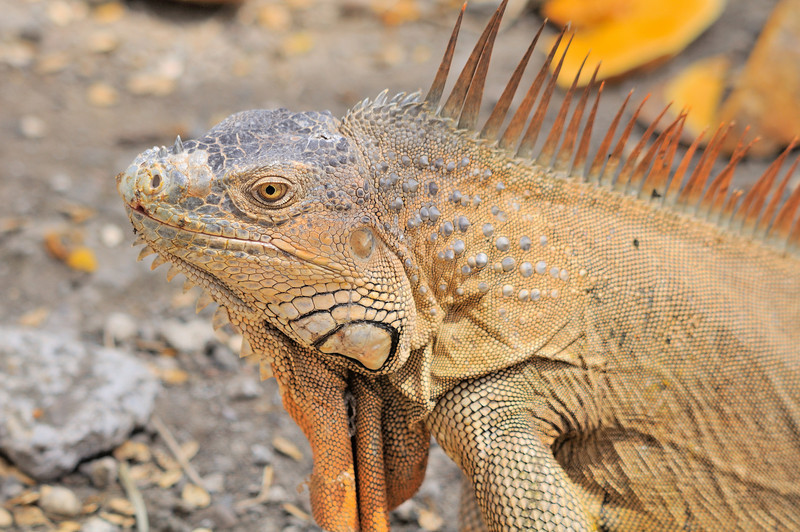 Despite their name, the Green iguana or common iguana (Iguana iguana)  can come in different colors. In southern countries of their range, such as Peru, green iguanas appear bluish in color with bold black markings. On islands such as Bonaire, Curaçao, Aruba, and Grenada, a Green iguana's color may range from green to lavender, black, and even pink. Green iguanas from the western region of Costa Rica are red and animals of the northern ranges, such as Mexico, appear orange.