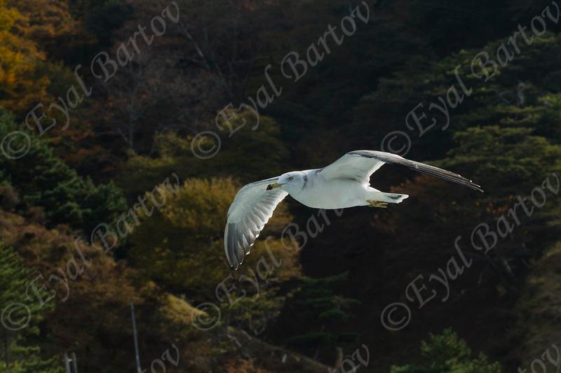 Black-tailed Gull (Larus crassirostris) Japan
