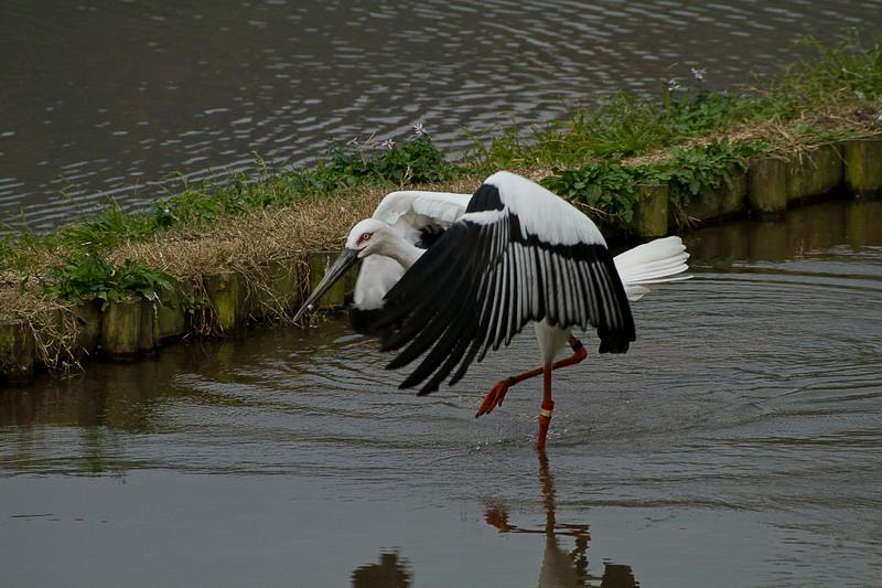 Oriental white stork (Ciconia boyciana) <br /> חסידה המזרחית