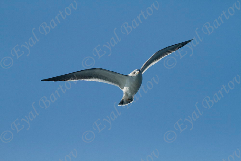Black-tailed Gull (Larus crassirostris) Japan