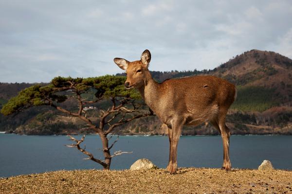 sika deer (Cervus nippon) אייל סיקה