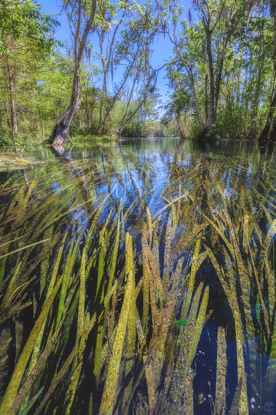 Eel grass in the Silver River