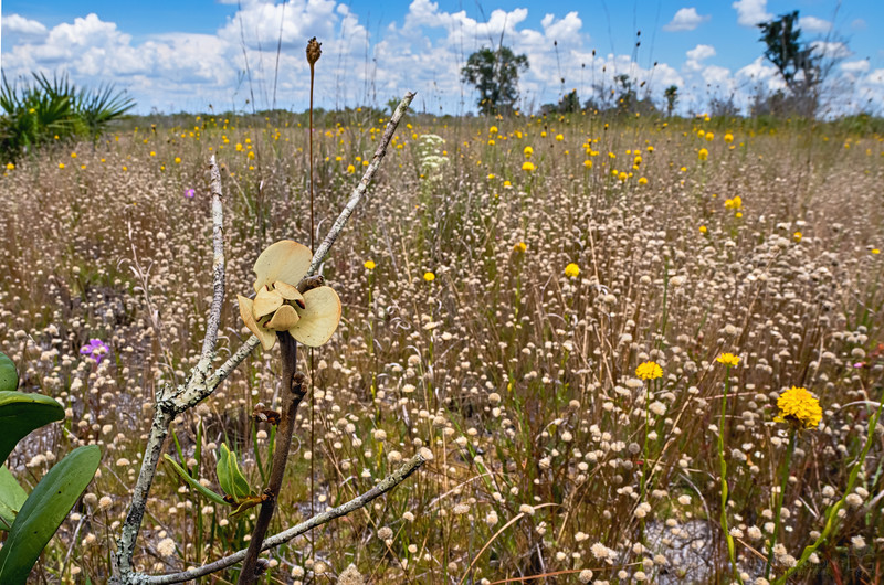 Multitudes of wildflowers in a prairie in western central Florida.