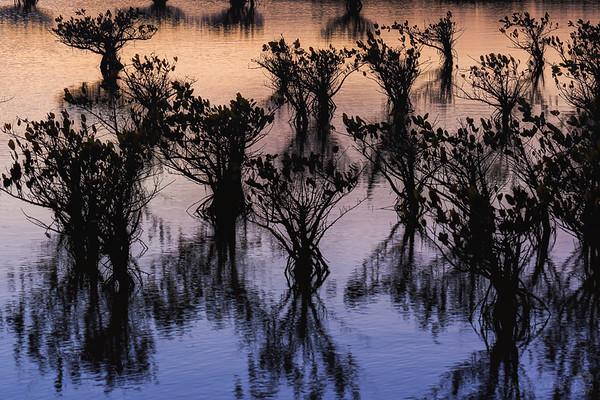 Mangrove sunset silhouette