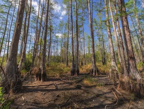 Cypress dome swamp low point in dry season