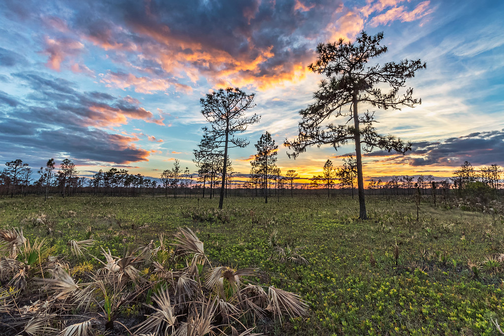 Sunset over a fairly recently burned pine flatwoods at Hal Scott Preserve