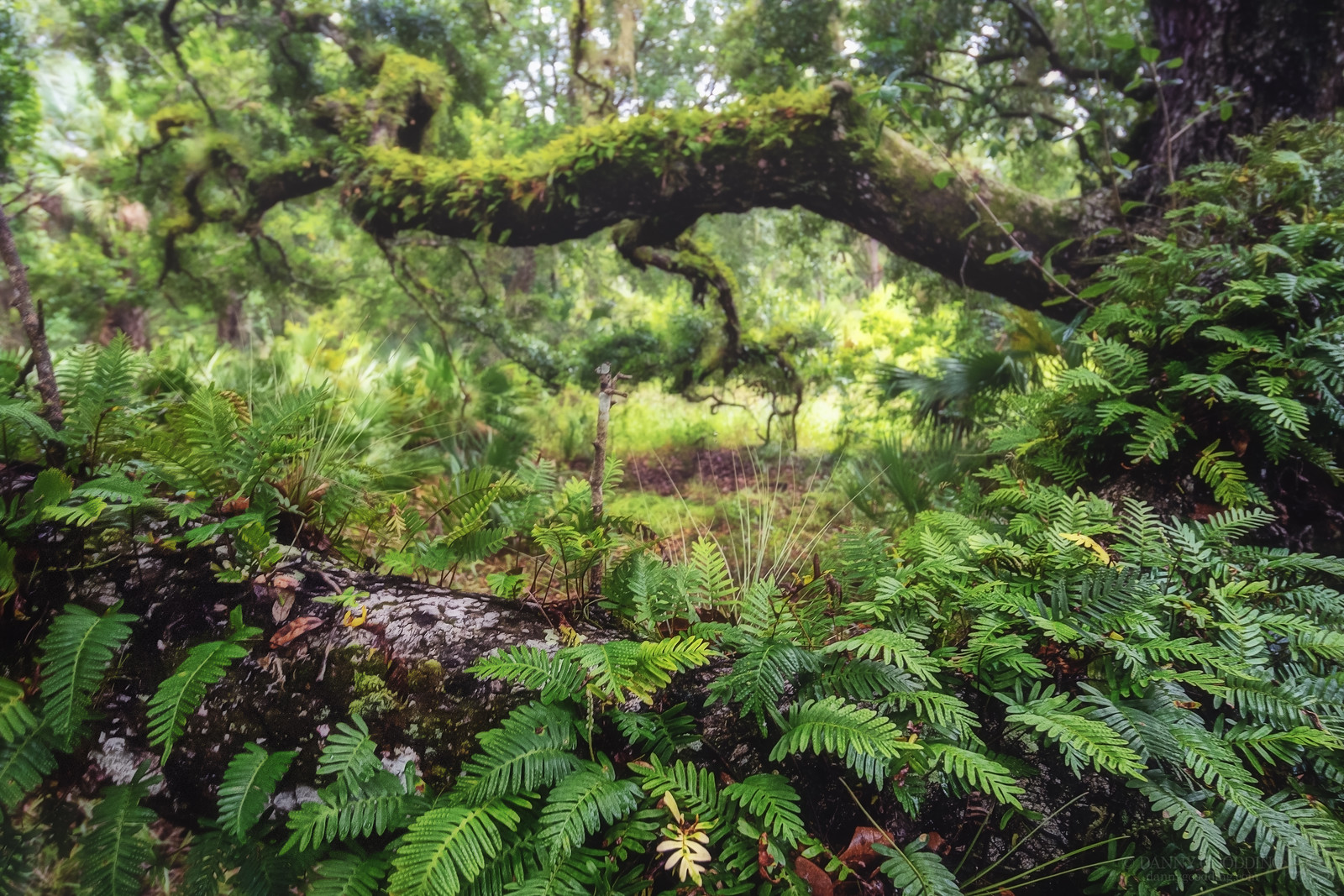 Resurrection ferns on a branch of a large oak tree in central Florida [OC] [1600×1067]