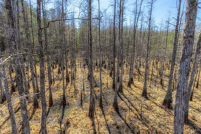 Dry cypress dome swamp from an elevated perspective