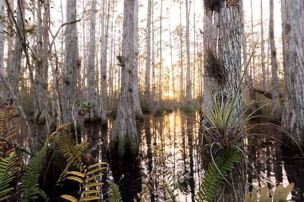 Cypress dome swamp sunset