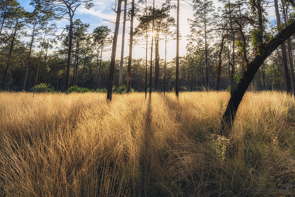 Golden hour in a field of wiregrass