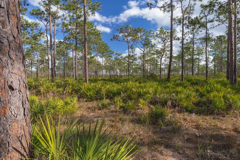 Pine flatwoods at Split Oak Forest
