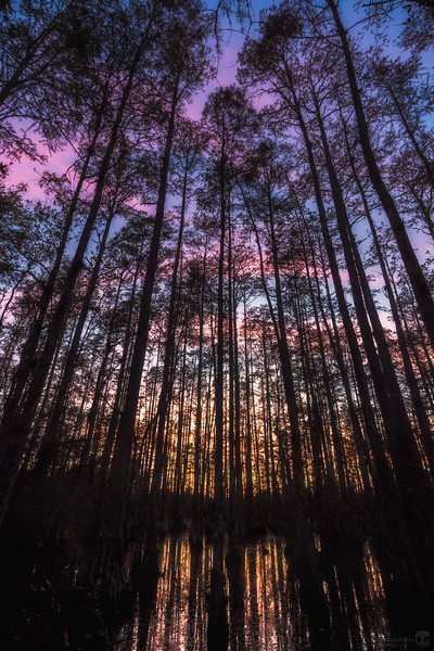 Sunset colors from inside a cypress dome swamp.