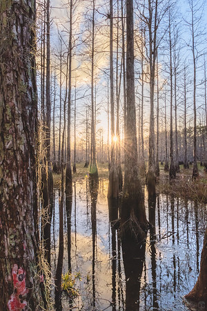 Golden hour in a young cypress dome swamp