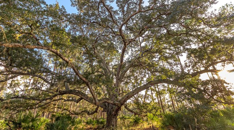 Massive live oak at Split Oak Forest