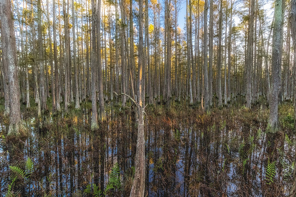Cypress dome swamp in the morning in October