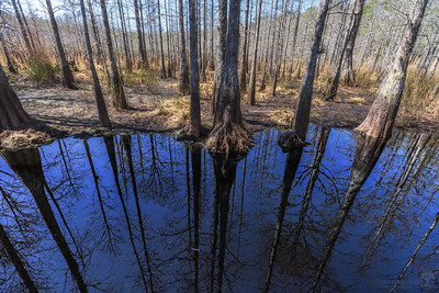 I encountered this almost completely dry cypress dome swamp that had just a couple little pools left out in the middle. The reflection of the deep blue sky on the calm black tannin-stained water almost looks like a portal to another world. The Upside Down?? #strangerthings 😝