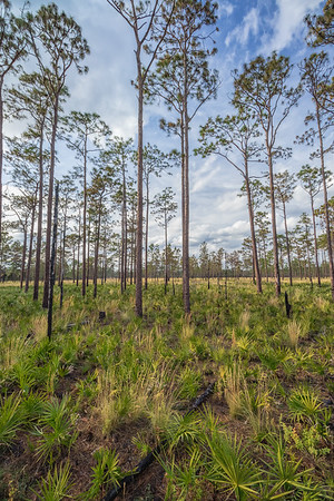 Palmettos popping up after a fairly recent burn at Split Oak Forest